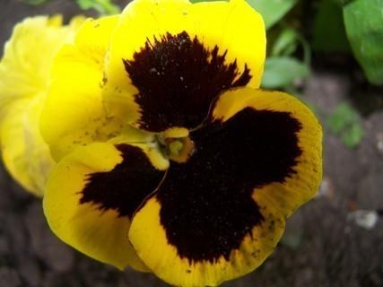 FOTKA - žlutá maceška