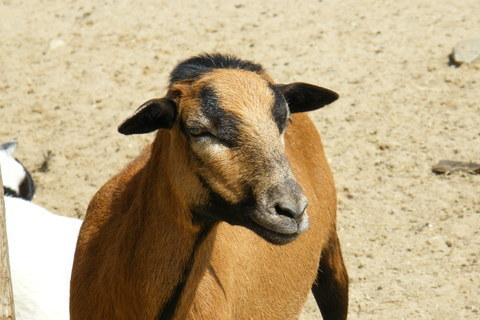 FOTKA - Koza krasavice