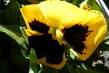 Maceska žlutá