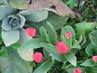 Tulipánky poupýátka