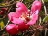 Kvítečka tmavší růžová