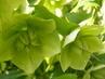 Kvítečka zelená