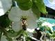 Serie květů jablůňky se  včelkou