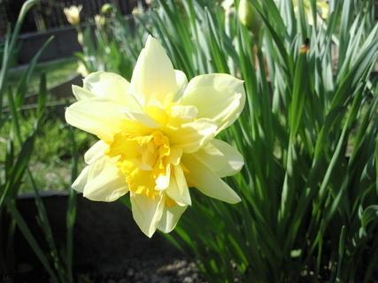 FOTKA - Narcis - květ