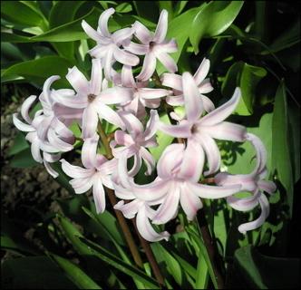 FOTKA - Hyacint