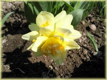 FOTKA - Narcis - jediný květ