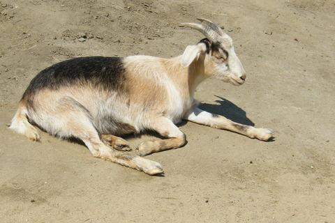 FOTKA - Odpočívající koza