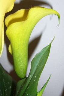 FOTKA - Kala s kapkou