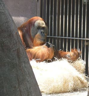 FOTKA - orangutan