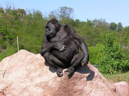 FOTKA - gorila v pražské ZOO.