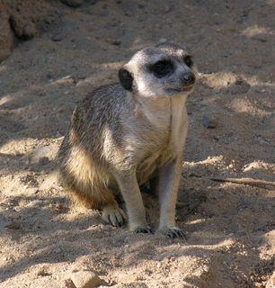 FOTKA - surikata v pražské ZOO