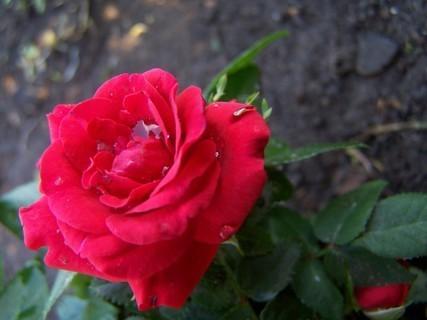 FOTKA - mini růžička