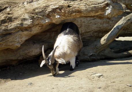 FOTKA - Koza a kmen