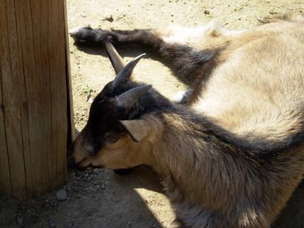 FOTKA - Koza ve stínu