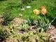 Mojé milované tulipánky  - 20.5.2009