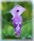 Květ hluchavky - makro