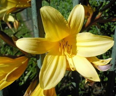 FOTKA - Žlutá denivka