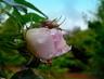 Šípková růžička