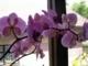 orchidea fialová3