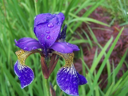 FOTKA - Iris po dešti