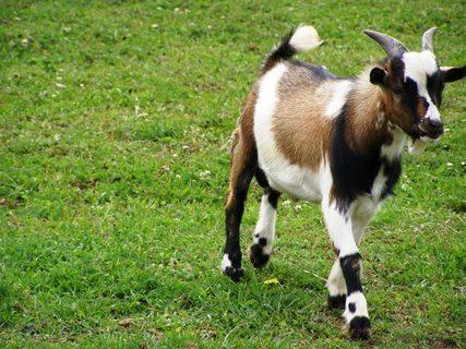FOTKA - Koza na procházce