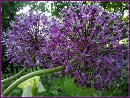 FOTKA - Kvetoucí česnek