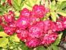 Kytičky - růže
