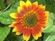 Slunečnice kvete