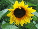 Už kvetou slunečnice