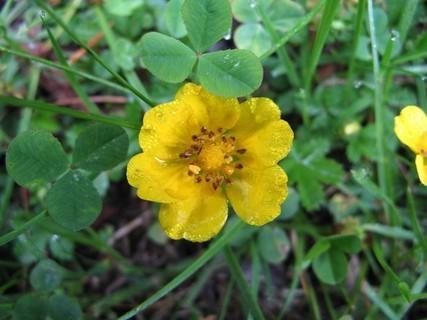 FOTKA - Luční květinka