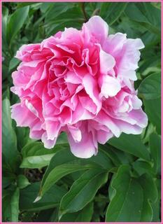 FOTKA - Růžovobílý květ pivoňky