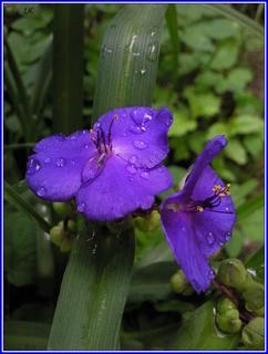 FOTKA - Modré květy s kapkami deště