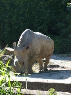 FOTKA - nosorožec-ostravská ZOO