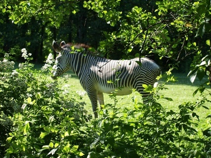 FOTKA - zebra ?- ostravská ZOO