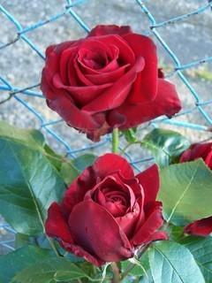 FOTKA - Růžičky ♫
