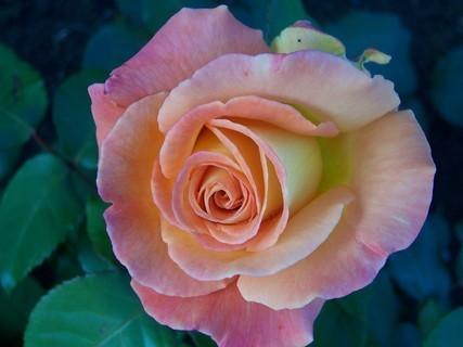 FOTKA - Růže žíhaná