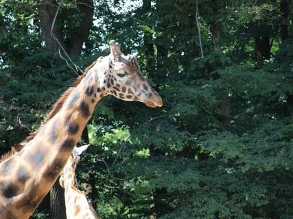 FOTKA - žirafa- zoo lešná