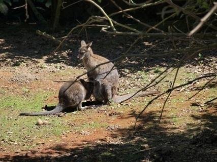 FOTKA - klokánci- zoo lešná