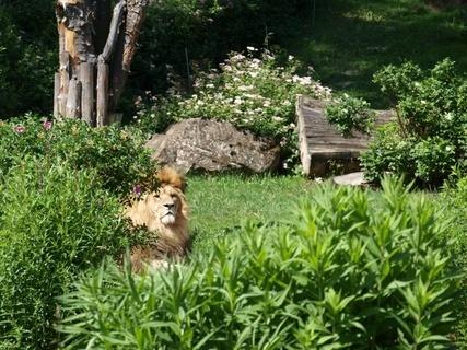FOTKA - lev- zoo lešná