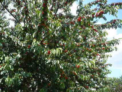 FOTKA - třešně
