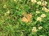 motýlek .,