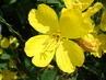 žlutá květinka