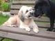 Aisha cení zuby na štěně Airu, 28.6.2009.