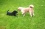 Aisha a 3-měsíční  štěně  labradora  , 28.6.2009.
