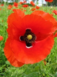 FOTKA - květ vlčího máku