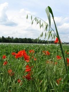 FOTKA - Bílo-červené makové pole