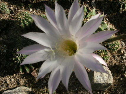 FOTKA - kaktus kvete