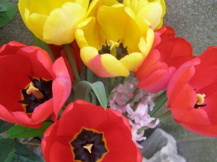 FOTKA - tulipany¨¨