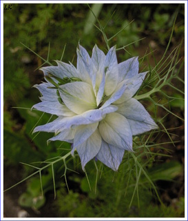 FOTKA - Černucha damašská ve světlé barvě