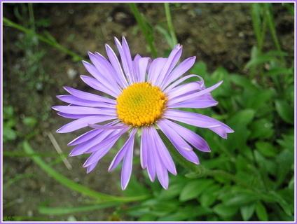FOTKA - Pohled na fialový květ